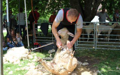 Schäferaktionstag: Von der Schafschur bis zum Pullover
